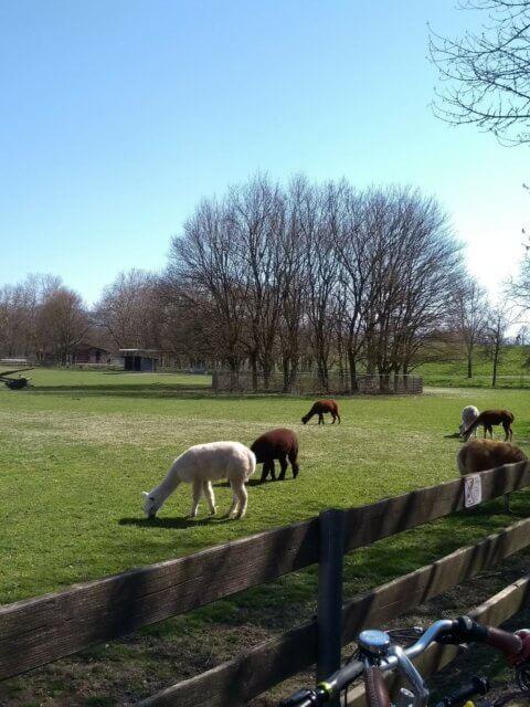 Mundenhof - Alpakas