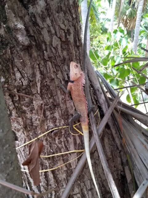 Chamäleon in Uppuveli in Trincomalee