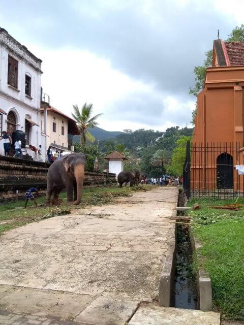 Elefant beim Zahntempel, festgekettet