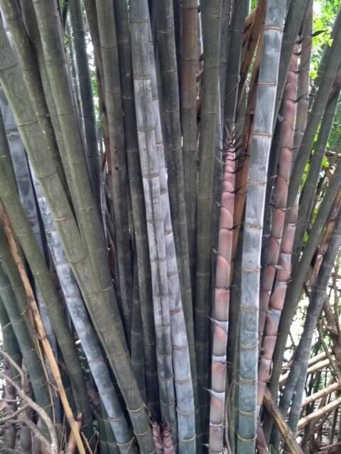 Schenkelstarker Bambus Botanischer Garten Kandy