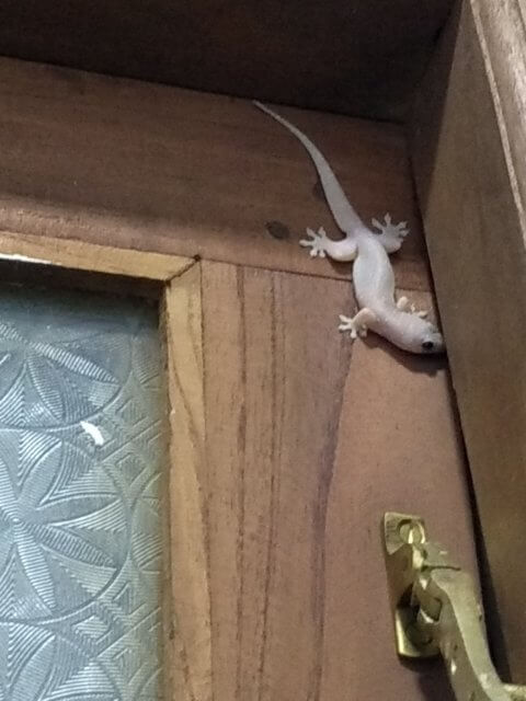 Gecko Besucher in Ella